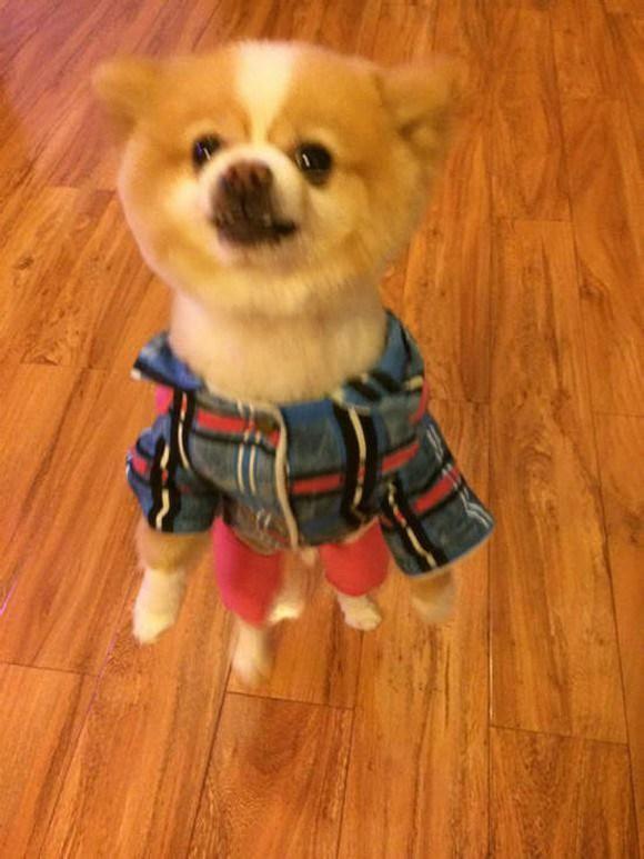 Pomeranian in a Jacket