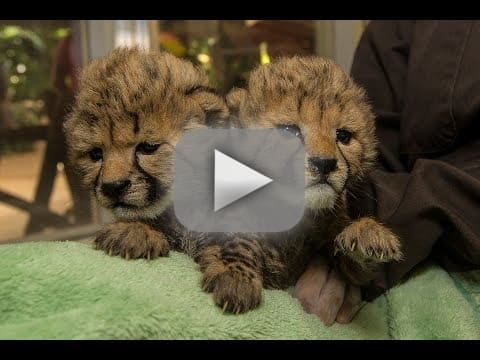Baby Cheetahs Born In San Diego May Kill Us With Their Cuteness