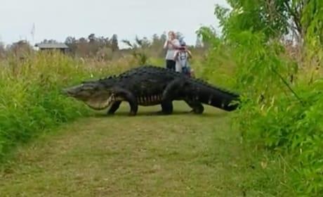 Enormous Alligator Wanders Around Florida, Goes Viral