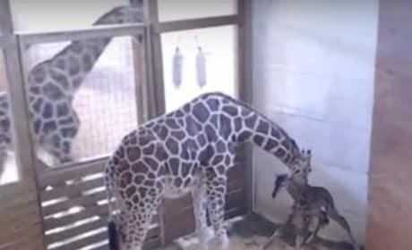 April the Giraffe FINALLY Gives Birth!!!