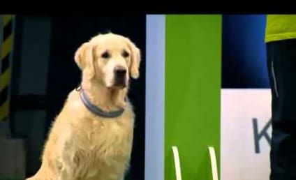 Distracted Golden Retriever is Really Terrible at Racing