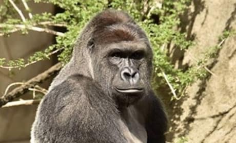 Harambe Mourned, Celebrated by Celebrities Everywhere