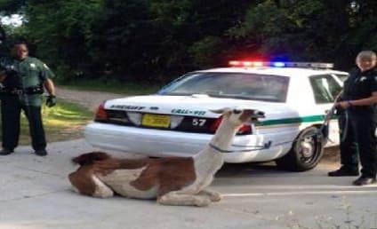 Cops Taze Escaped llama in Florida