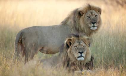 Jericho: Cecil the Lion's Brother Reportedly Killed By Poachers; Caretakers Dispute Claim