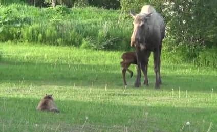 Cat Stalks Mama Moose and Baby Moose, Immediately Regrets It