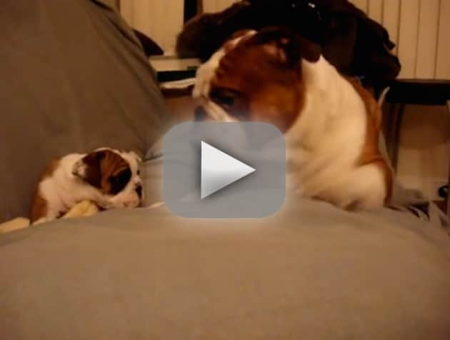 Bulldog Meets Daughter for First Time