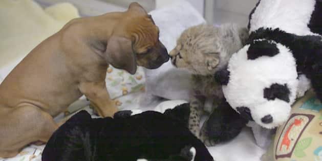 Puppy and Cheetah