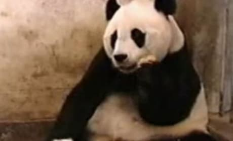 Baby Panda Sneeze Frightens Mother