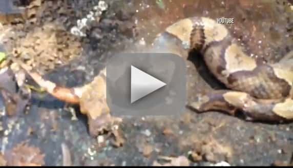 Decapitated Snake Head Bites Own Body!!!