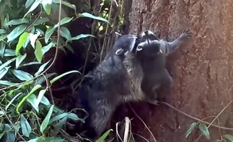 Mother Raccoon Teaches Child How to Climb a Tree