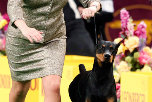 Westminster Dog Show Pic
