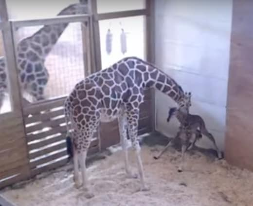 April the Giraffe and Her Baby