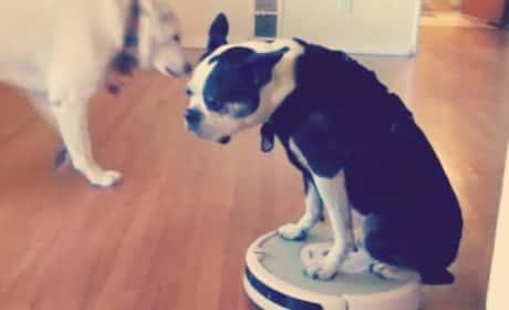 Animals Riding Roombas!