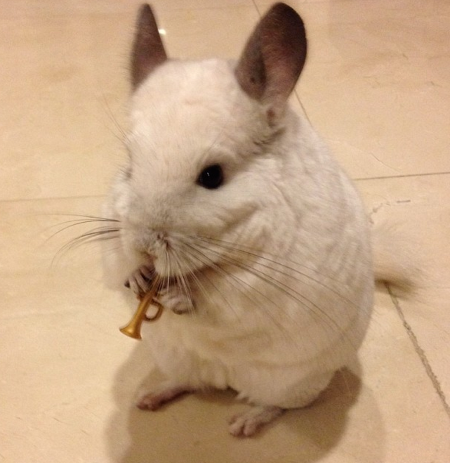 Chinchilla Plays the Trumpet