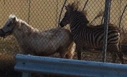 Zebra Chases Pony in Parking Lot, Hapless Humans Give Chase With Lassos