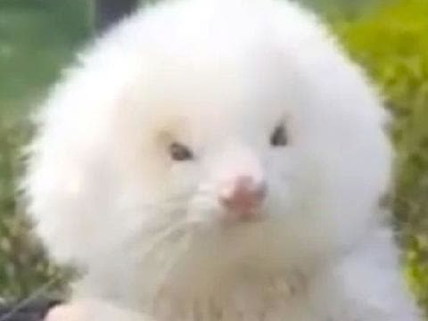 ferret on steroids sold as poodle
