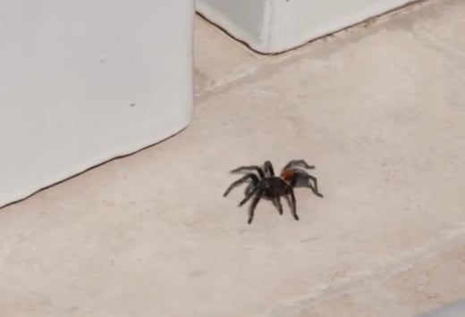 Tarantula at Kourtney's House