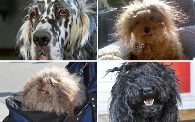 11 dogs suffering from bery bad hair days black white and messy