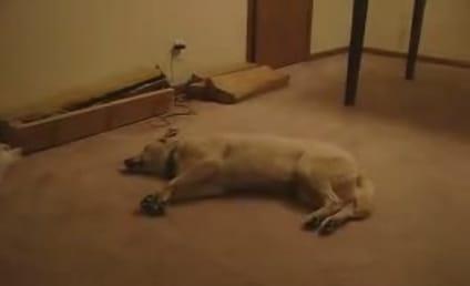 Dog Runs in Sleep, Crashes Into Wall