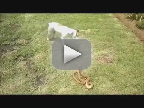 Jack Russell Terrier vs. Cobra