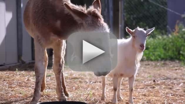 Goat and Donkey: Total BFFs!