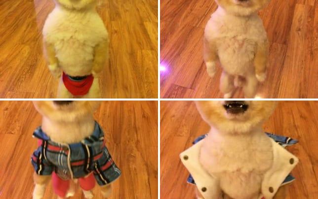 Pomeranian on two feet