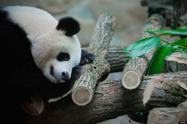 One tired panda