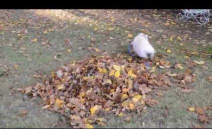 Pig Encounters First Pile of Leaves, Goes BESERK