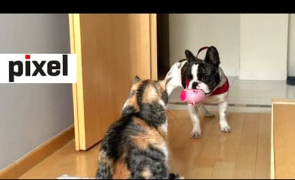Bulldog Desperately Tries to Play with Uninterested Cat