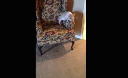 Pig Continually Humps Armchair: Watch Him Thrust, Fall!