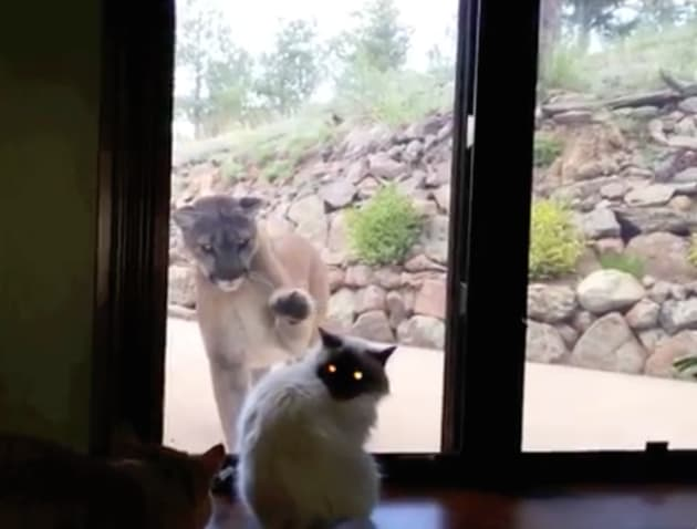Courageous Cat Has No Fear Of Mountain Lion The