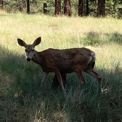 Robyn Brown deer pic in flagstaff