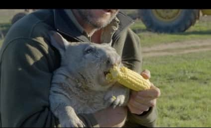 Wombat Farts, Eats Corn in Violent Fashion