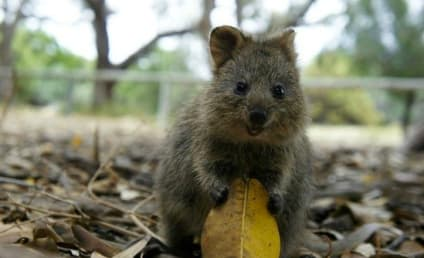 Quokka Photos: Happiest, Cutest Animal EVER!