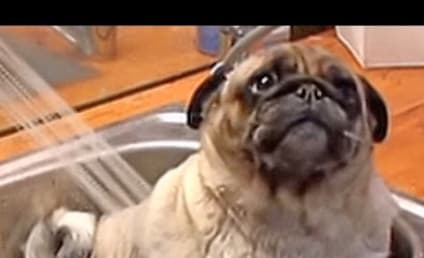 Pug Loves Taking a Bath More Than We Love Anything in the World