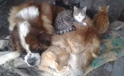 Yankee the St. Bernard Warms These Kittens, Steals Our Hearts