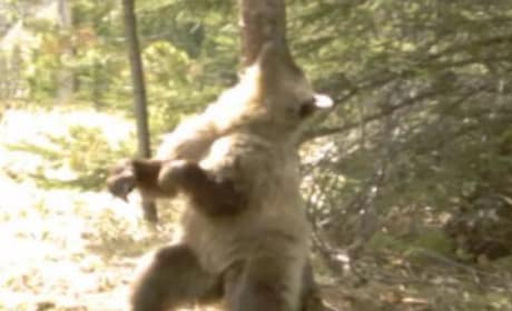 Bears Twerking in the Woods