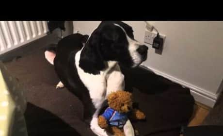 Great Dane Refuses to Part with Teddy Bear