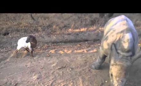 Baby Rhino Hangs with Baby Goat