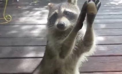 World's Most Polite Raccoon Would Just Like Some Cat Food