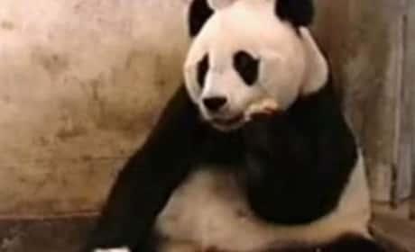 Baby Panda Sneeze Frightens Mother