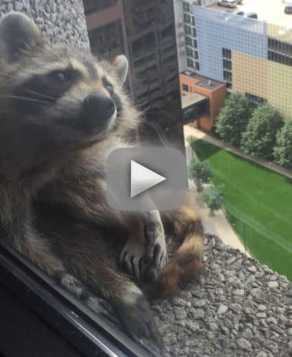 Mpr raccoon scales skyscraper keeps entire internet on edge