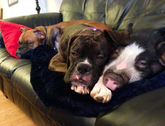 Pig Cuddles with Dog