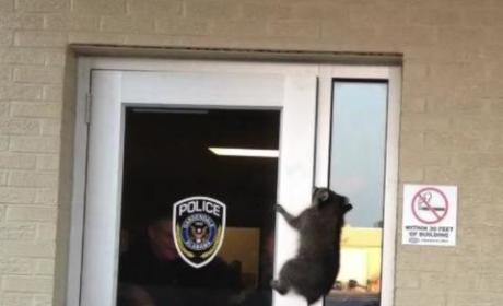 Raccoon Breaks Into Police Station