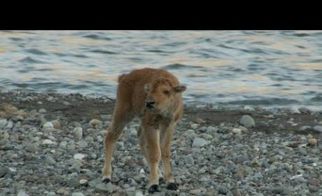 Baby Bison Fends Off Attacking Wolf, Is Our New Hero