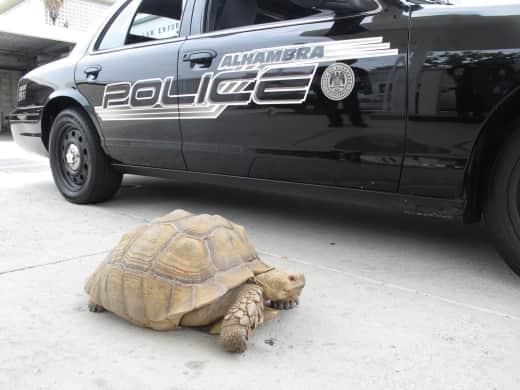 Tortoise in Los Angeles