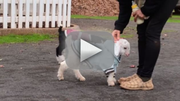 Goat Walks Without Wheelchair