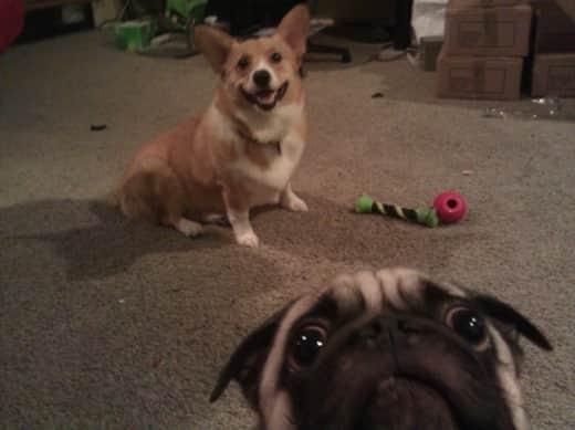 Pugs Look Like Aliens