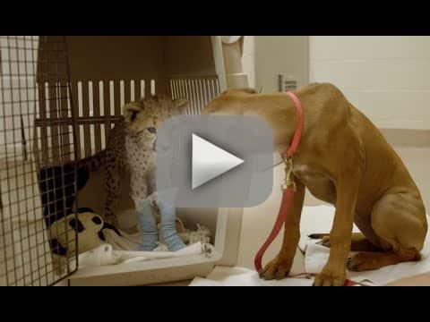 Puppy Comforts Cheetah