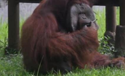 Orangutan Smokes Strewn Cigarette, Animal Activisits Flip Out